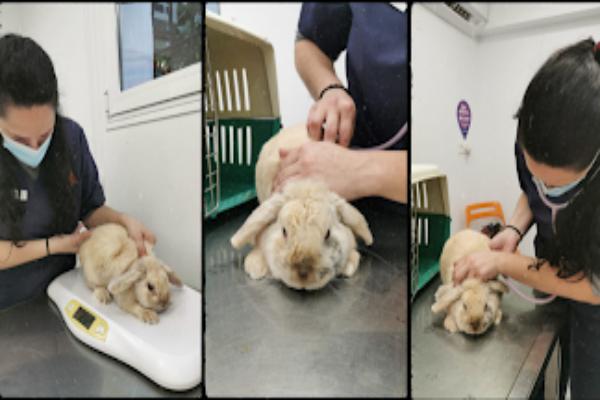 ¿Cuántas vacunas deben colocarse a un conejo y con qué frecuencia?