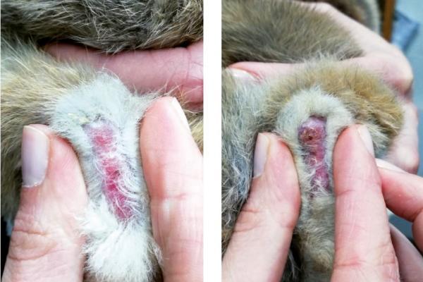 Ulceras en las patas del conejo y sus consecuencias