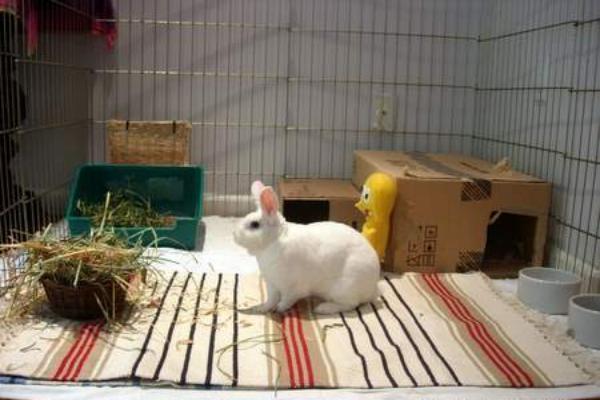 Como cuidar a un conejo