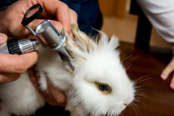 Los síntomas de la otitis pueden variar si los hay en tu conejo.