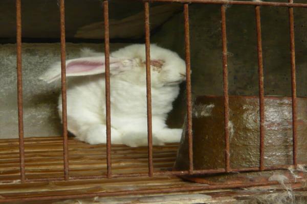 Las enfermedades de la piel en conejos