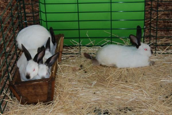Prevención de ulceras en las patas del conejo