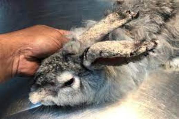 Enfermedades de la piel en conejos