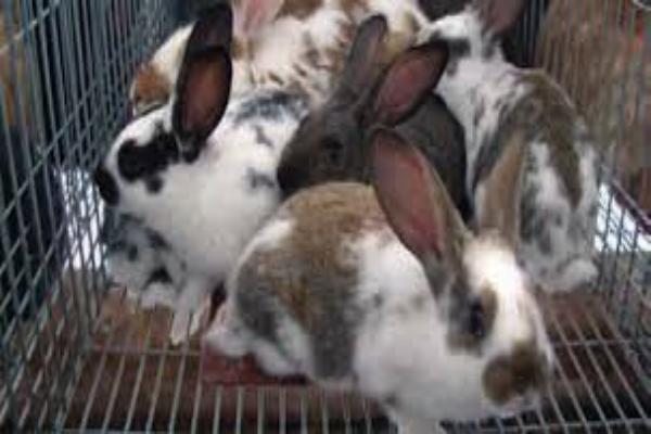 ¿Cómo curar el mal de patas en conejos?