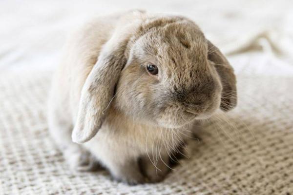 Tratamiento para problemas respiratorios en conejos