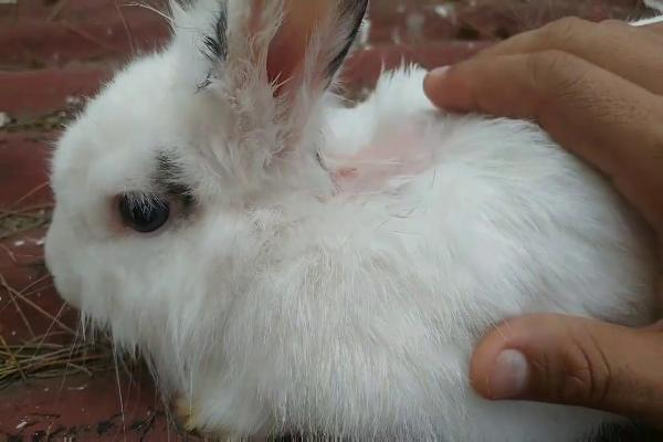 Como es la muda de pelo de los conejos