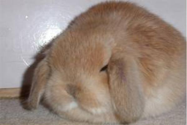 Cómo saber si mi conejo esta gordo