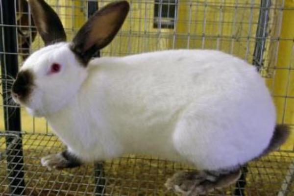 Tratamiento de la pododermatitis en conejos
