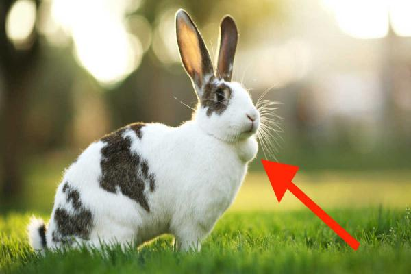 Tumores en conejos