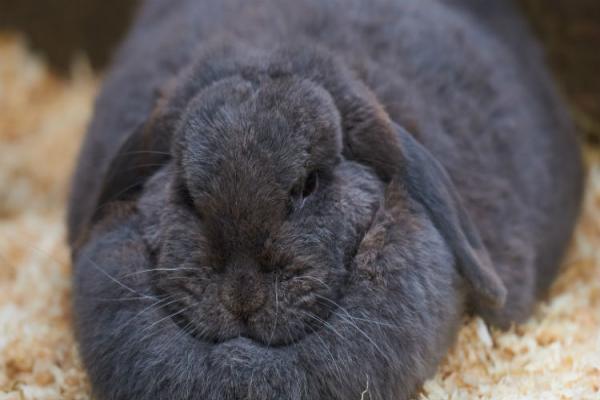Obesidad en conejos