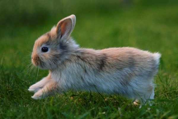 Pododermatitis en conejos domésticos