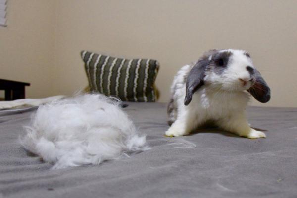 ¿Cómo es la muda de pelo en conejos?
