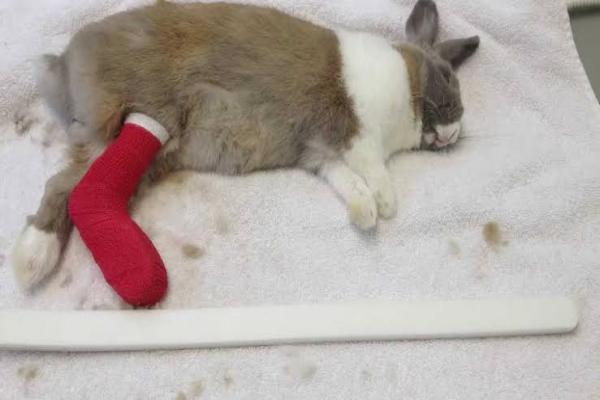 Cuidados de los conejos heridos