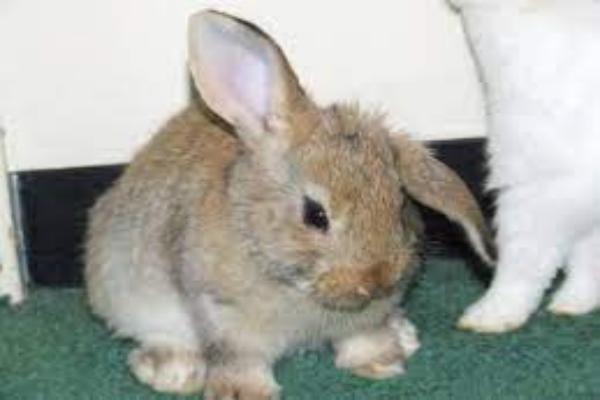 ¿Por qué mi conejo dobla una oreja?