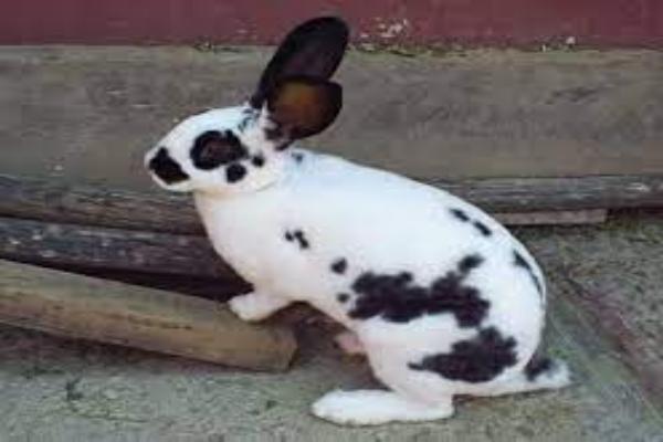Esterilización o castración de conejo