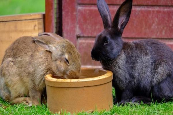 ¿Por qué mi conejo no quiere tomar agua pero si come?