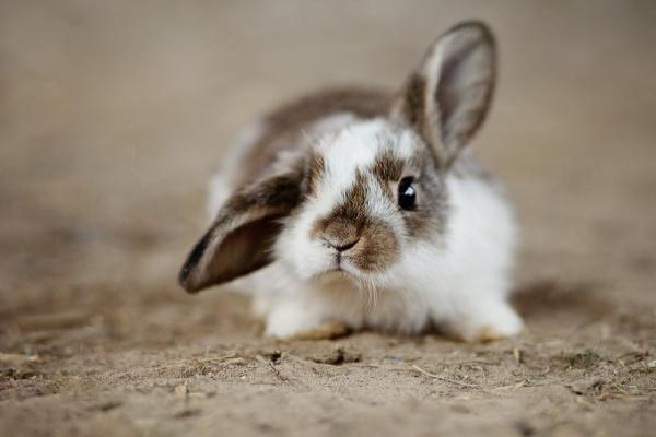 ¿Cómo curar la oreja de un conejo?