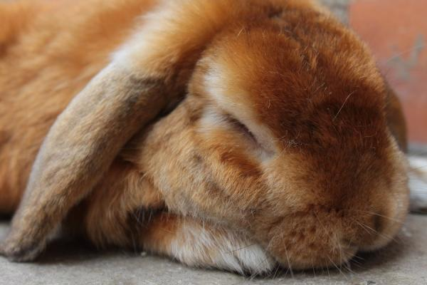 Principales enfermedades de los conejos