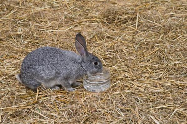 Los conejos pueden tomar agua