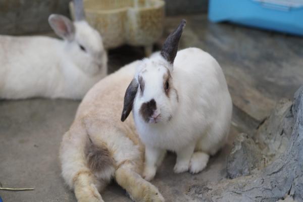 ¿Por qué mi conejo tiene una oreja caída?