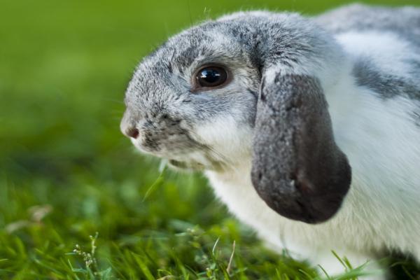 Problemas con las razas de conejos de orejas caídas