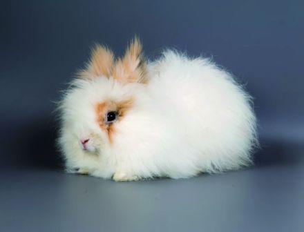 http://conejitos.org/razas-de-conejos/conejo-angora/