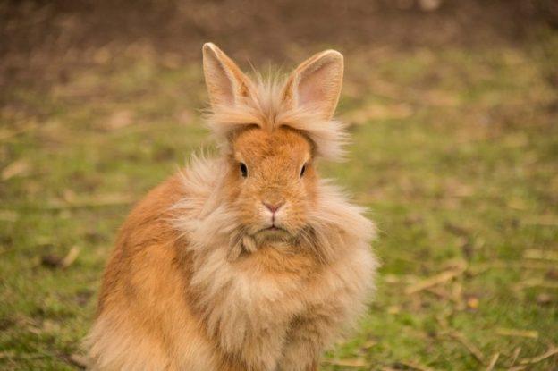 conejo-cabeza-de-león