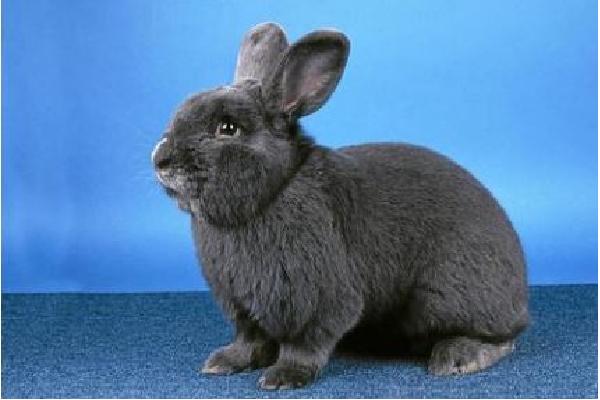 conejo-azul-de-viena