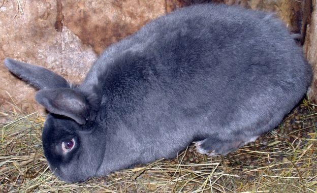 Conejo-Chinchilla-Americano-22