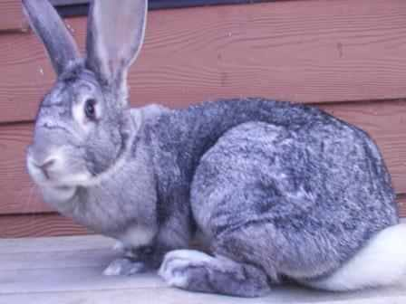conejo chinchilla