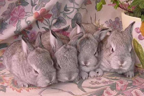 conejo-chinchilla-estándar
