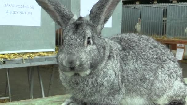 conejo chinchilla gigante