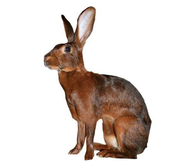 conejo liebre belga