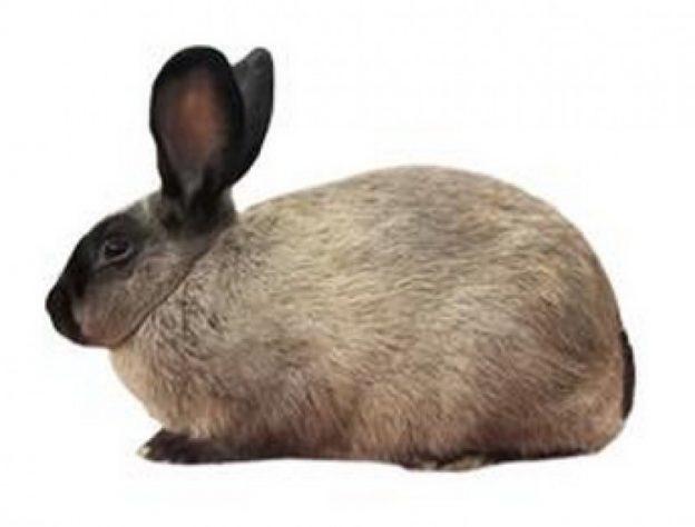 conejo sable americano
