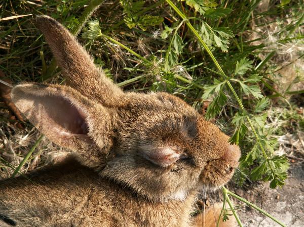 Que es la conjuntivitis en conejos