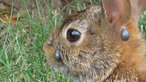 Garrapata en conejos