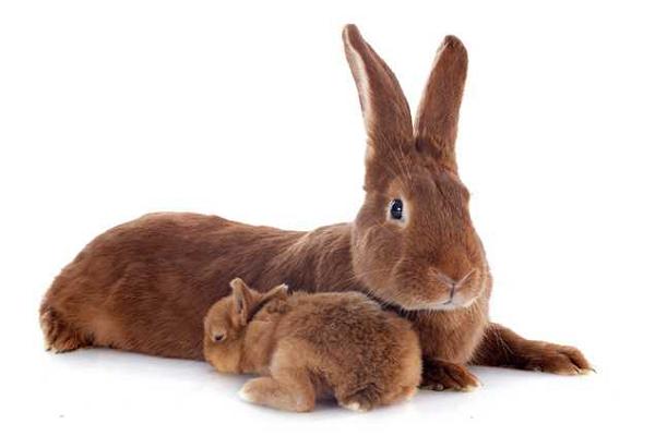 Conejo leonado de borgoña