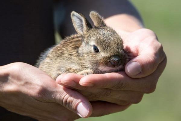 Desparasitación del conejo enano