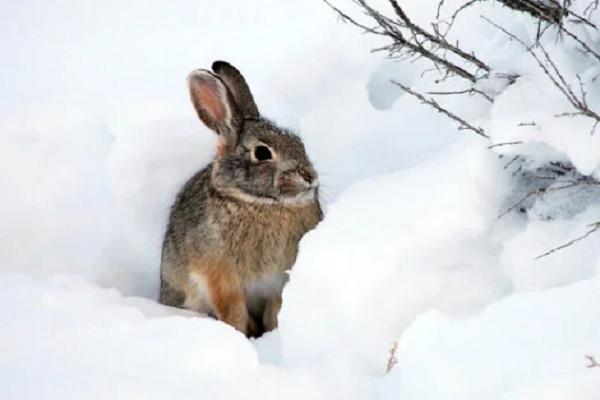 los conejos invernan