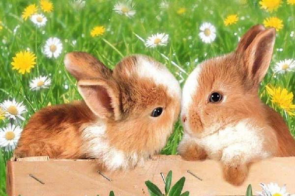 Esterilización en conejos enanos