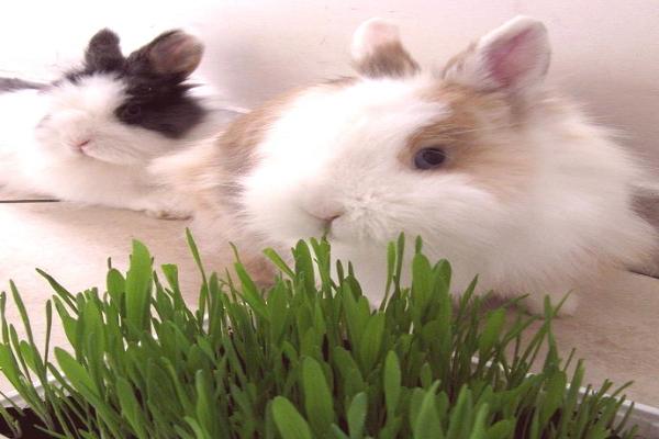 Como hacer heno casero para conejos