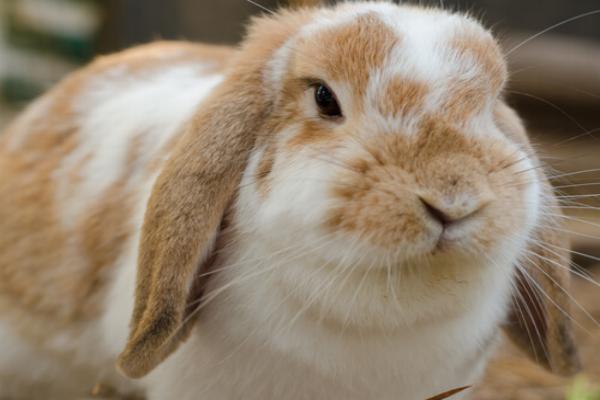 El conejo holland lop