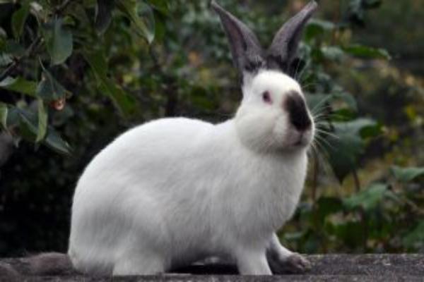 Características del conejo himalayo